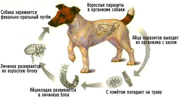 передаются глисты от собаки человеку